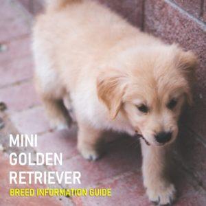 Mini Golden Retriever