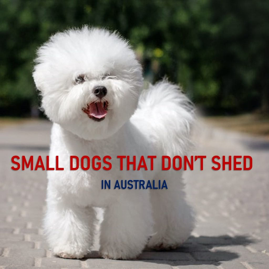 Small Dogs that don't Shed Australia
